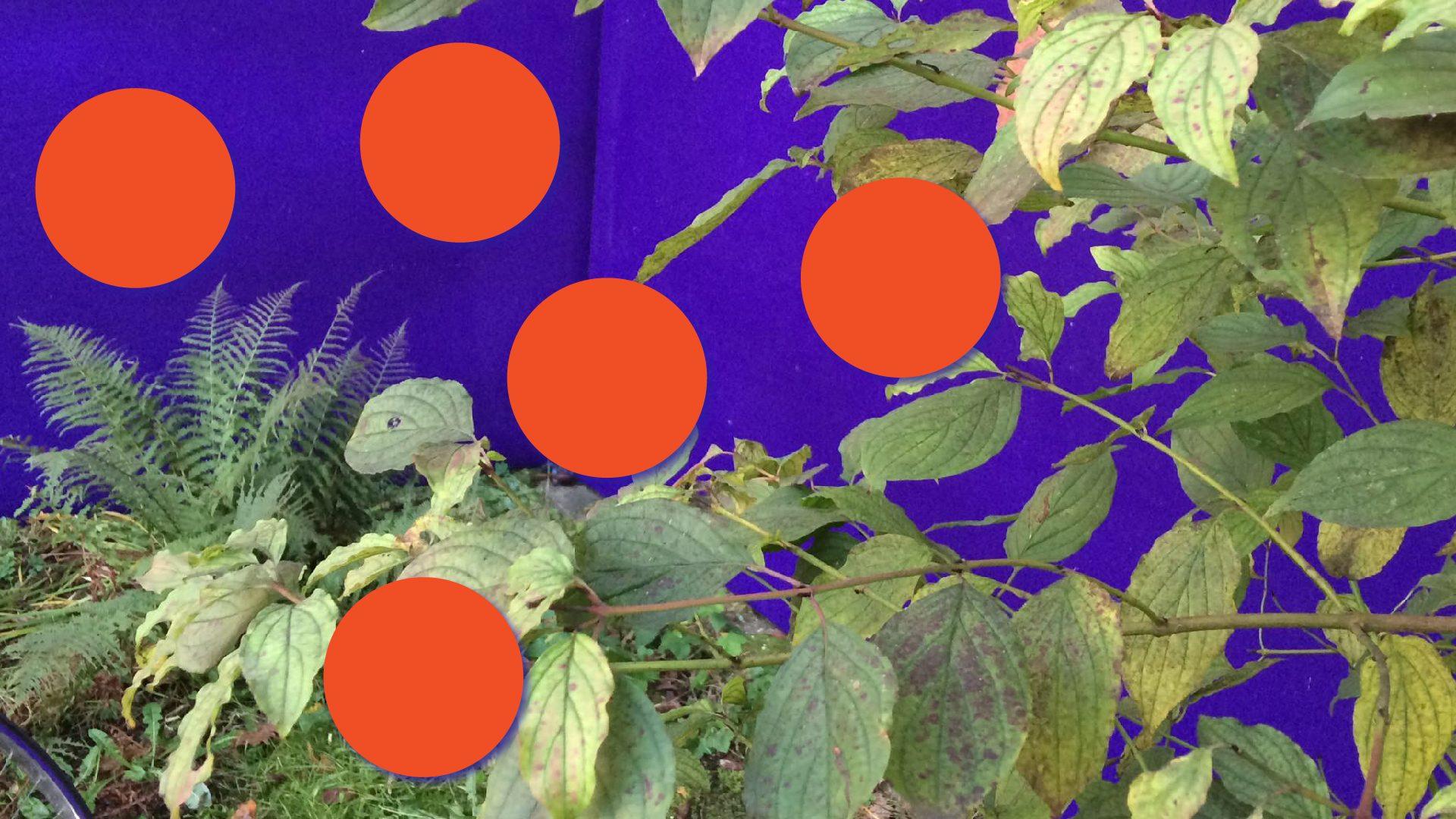 """Penktojoje """"Radijo pievelės"""" laidoje kalba Vilniaus universiteto profesorius Rimvydas Laužikas apie Vilniaus miestą, istorinius sodus bei sodininkavimo kontekstus. Jei sėstume į laiko mašiną ir nusikeltume kelis šimtus metų atgal, kokiose vietose buvo esminiai Vilniaus sodai, ar yra kažkas išlikę iki šių dienų? Kokie konkretūs sodai ir sodininkai buvo svarbūs Lietuvos pomologijai? Kaip vaisiuose atsispindi idėjos ir kultūra?"""